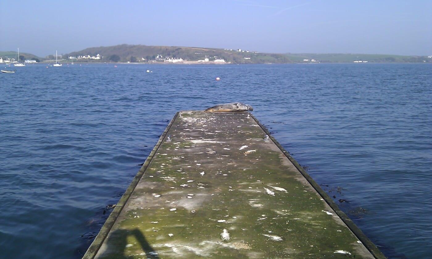 Seal on pontoon at Dale
